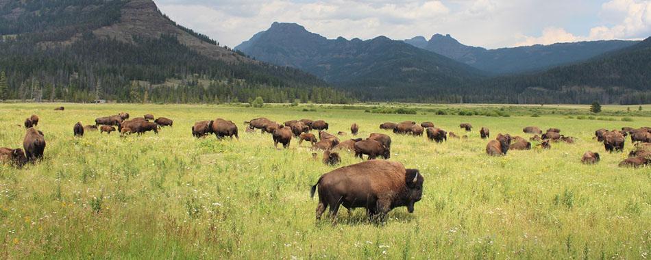 Gourmet Bison-Entrecote/Ribeye  US - Bisons auf einer Weide in Nordamerika